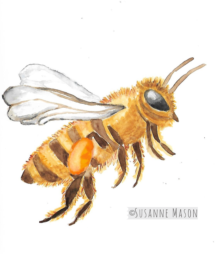 Bee watercolour, by Susanne Mason